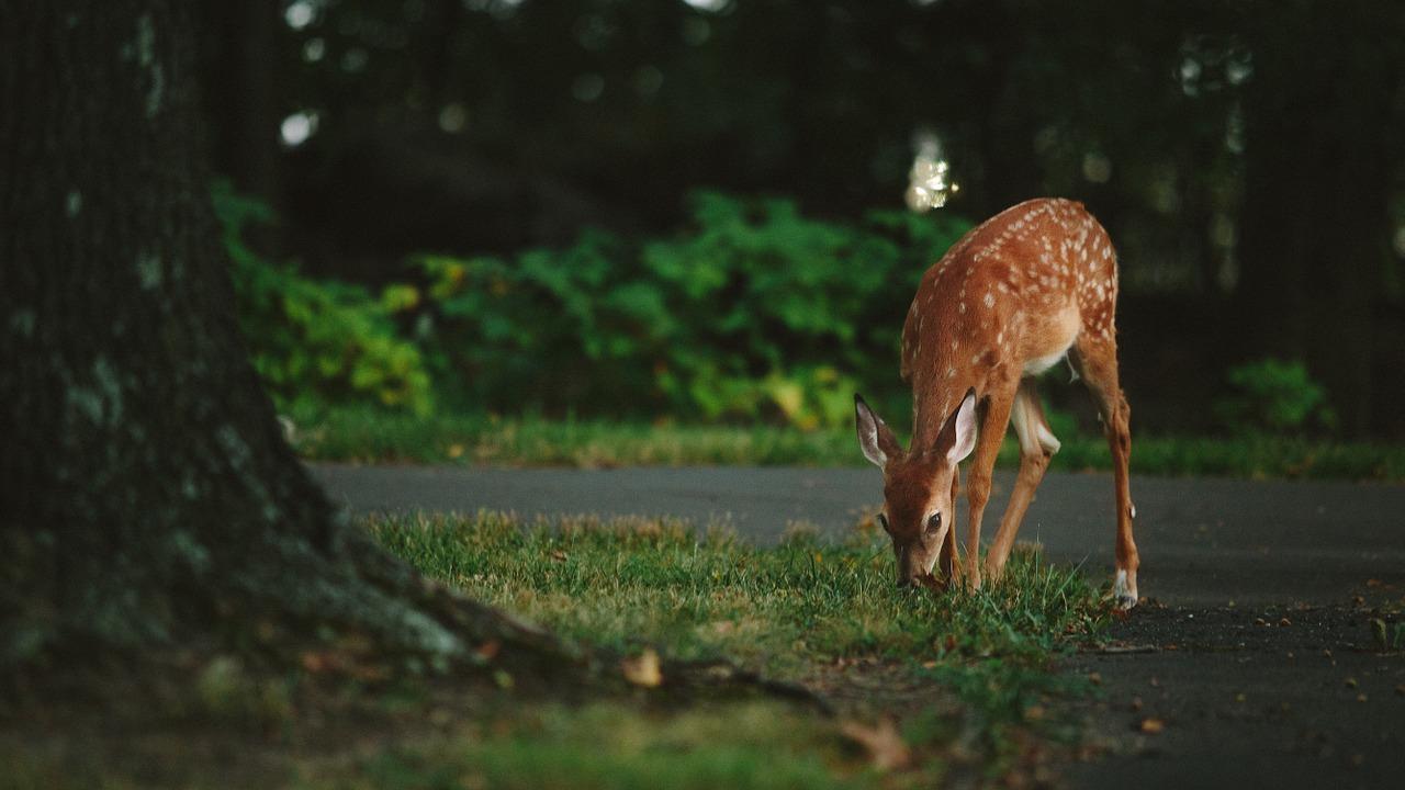 Deer_blog