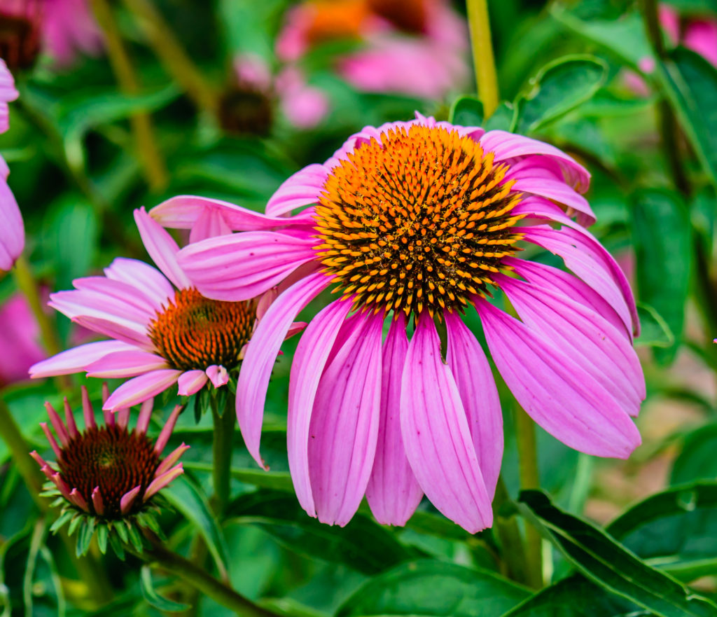 Landscape Design Tips - No Fail Perennials - Purple Coneflower