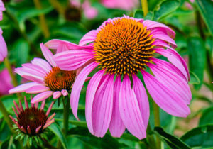 Purple_Coneflower_NBG_LR